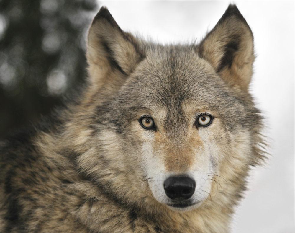 Dei cani e dei lupi