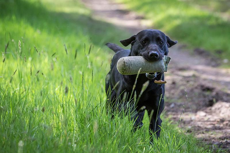 Conoscere il Labrador