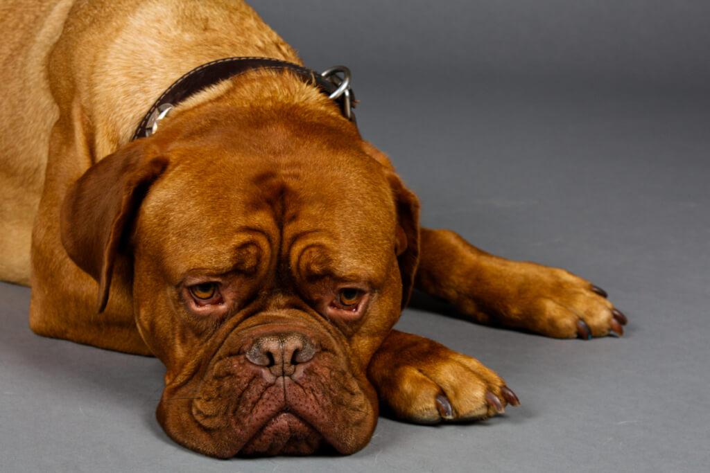 La stanchezza mentale nei cani