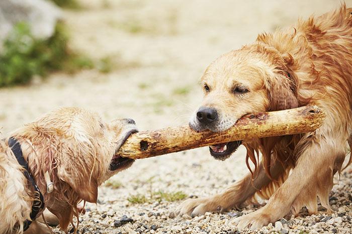 Sono meglio i cani maschi o le femmine?