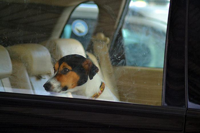 Cosa fare se si vede un cane lasciato chiuso in macchina sotto il sole