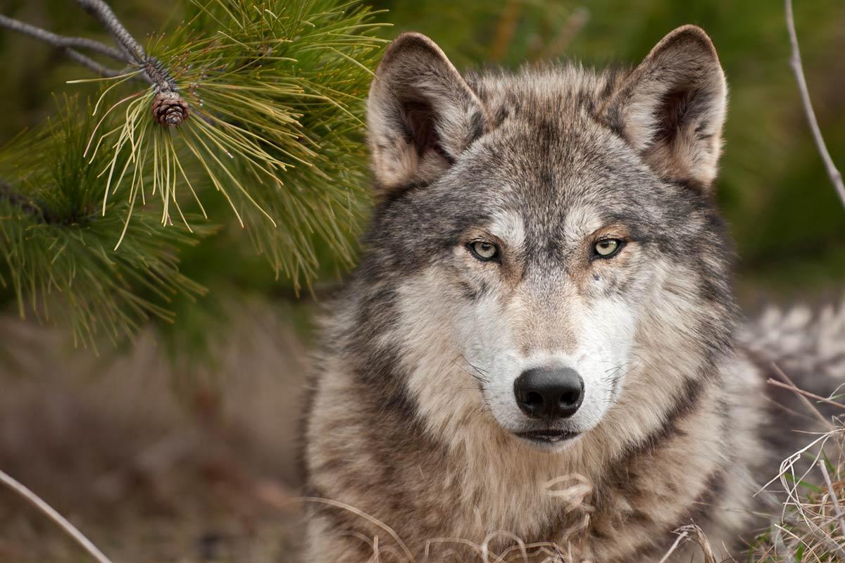 I cani non sono lupi addomesticati