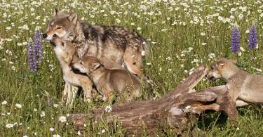 storie-di-lupi