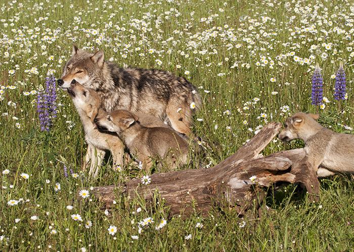 L'amore di un lupo