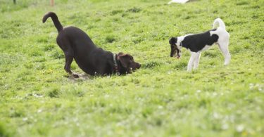 Two playful dogs outdoors on grass