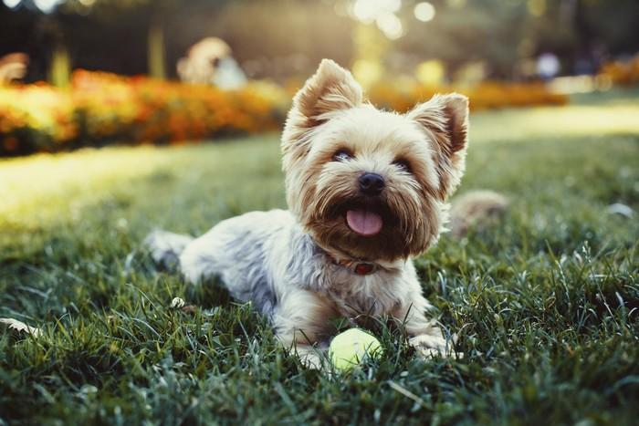 Estremamente I cani piccoli sono più aggressivi | DogDeliver LD22