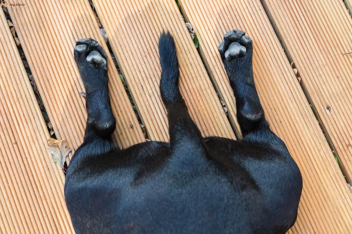A cosa serve la coda ai cani?