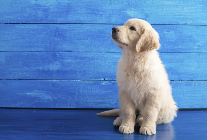English Golden Retriever Puppy on Blue Wood