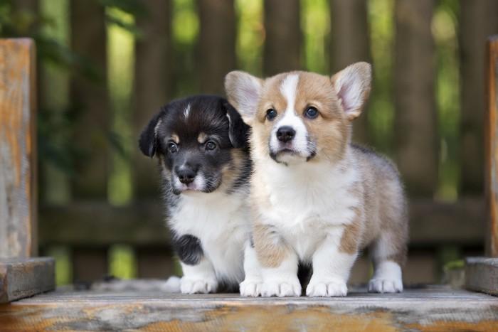 two corgi puppies