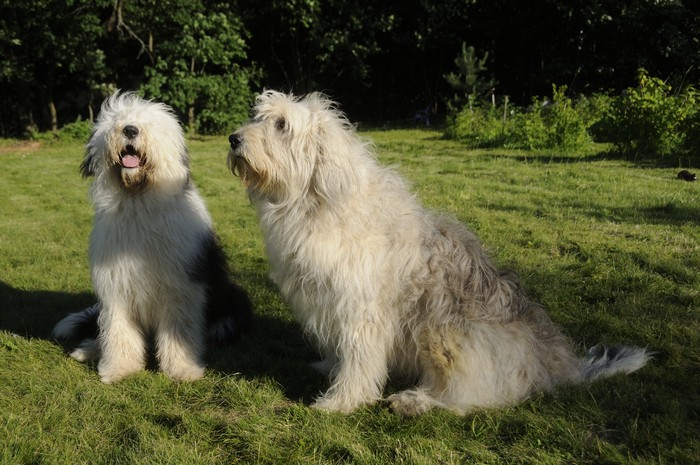 The old English Sheepdog and the South Russian shepherd dog on the lawn. Adobe RGBThe old English Sheepdog and the South Russian shepherd dog on the lawn. Adobe RGB