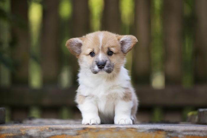 La posizione delle orecchie indica lo stato d'animo dei cani
