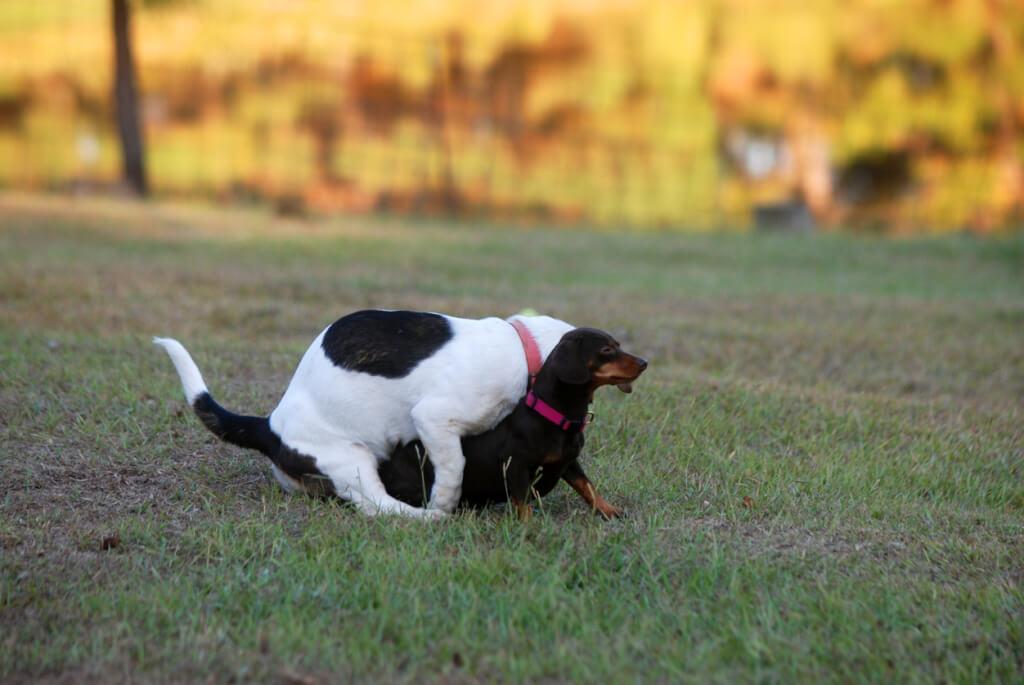 Perchè i cani montano