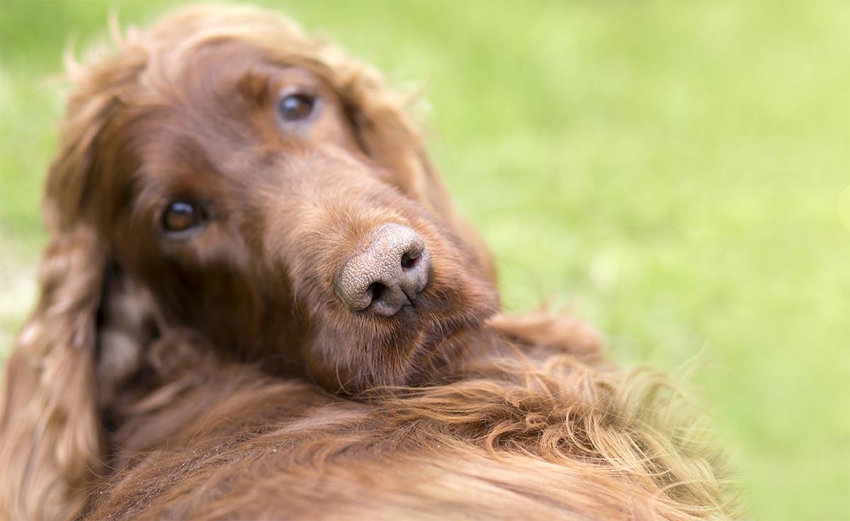 I cani distinguono le parole e il tono della voce degli umani