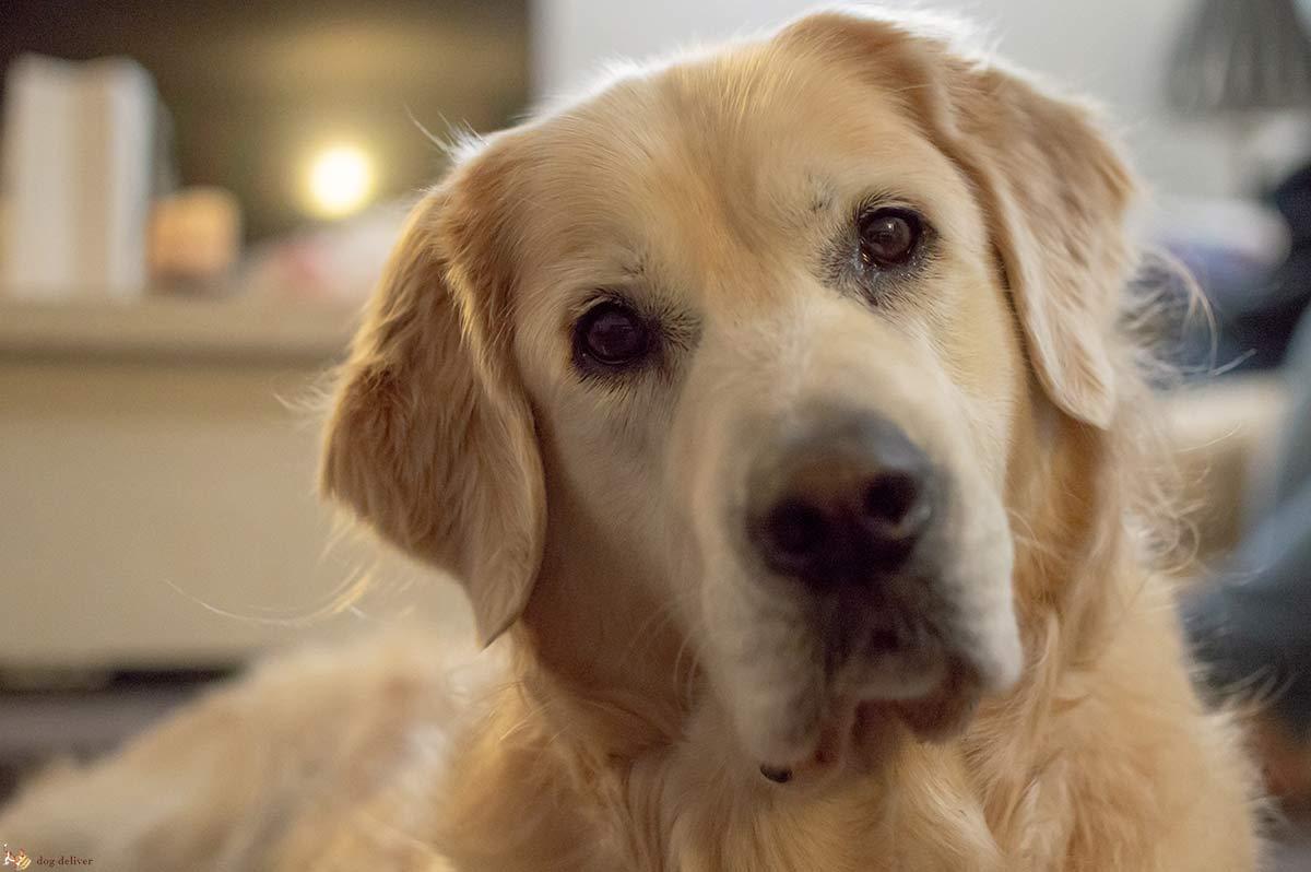 La demenza senile nei cani