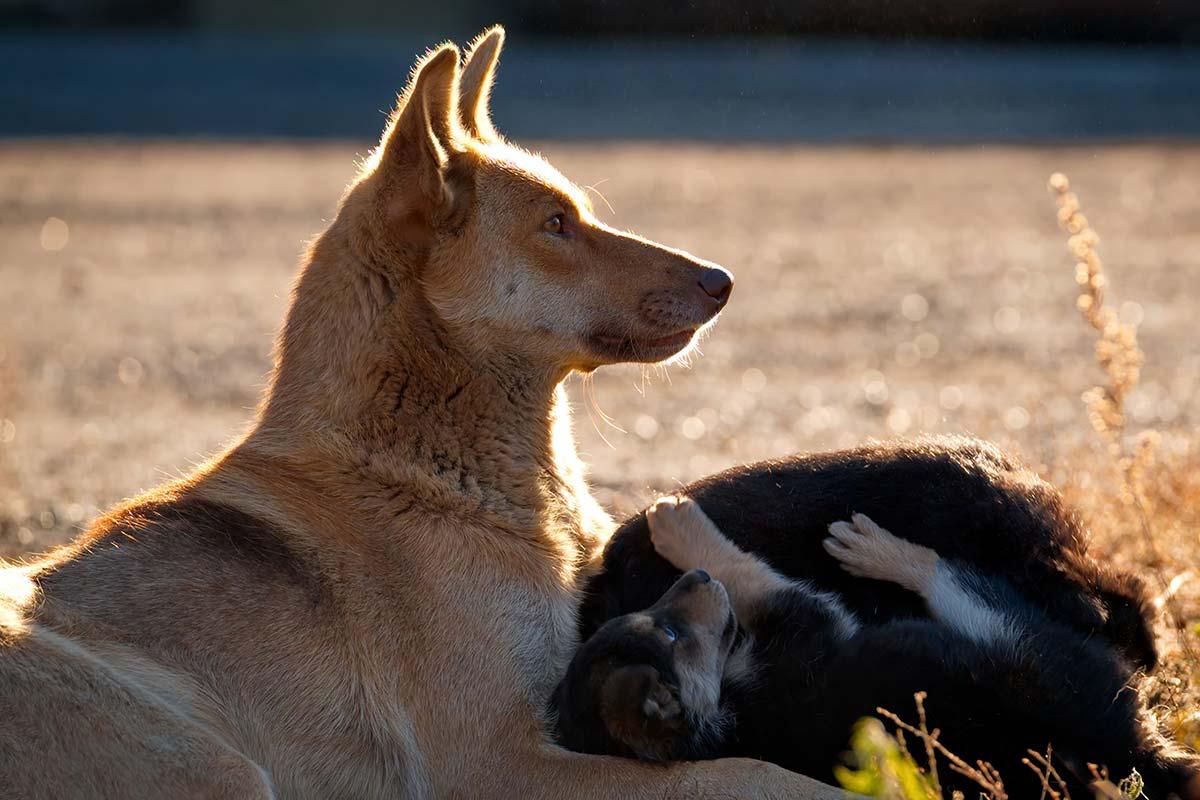 Capire i suoni dei cani