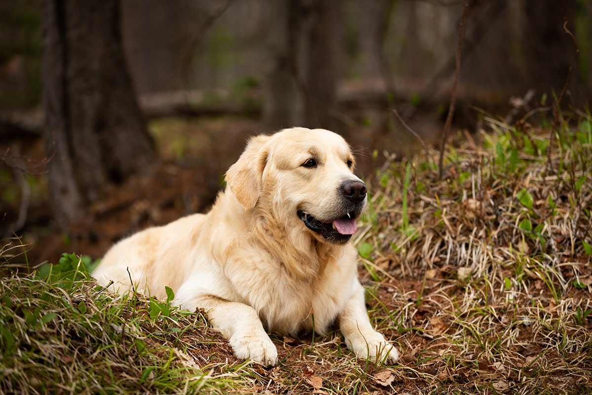 I dolori articolari nei cani