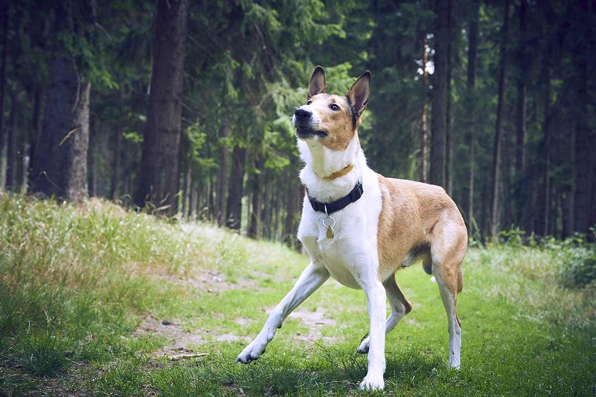 Cosa comunicano i cani quando abbaiano