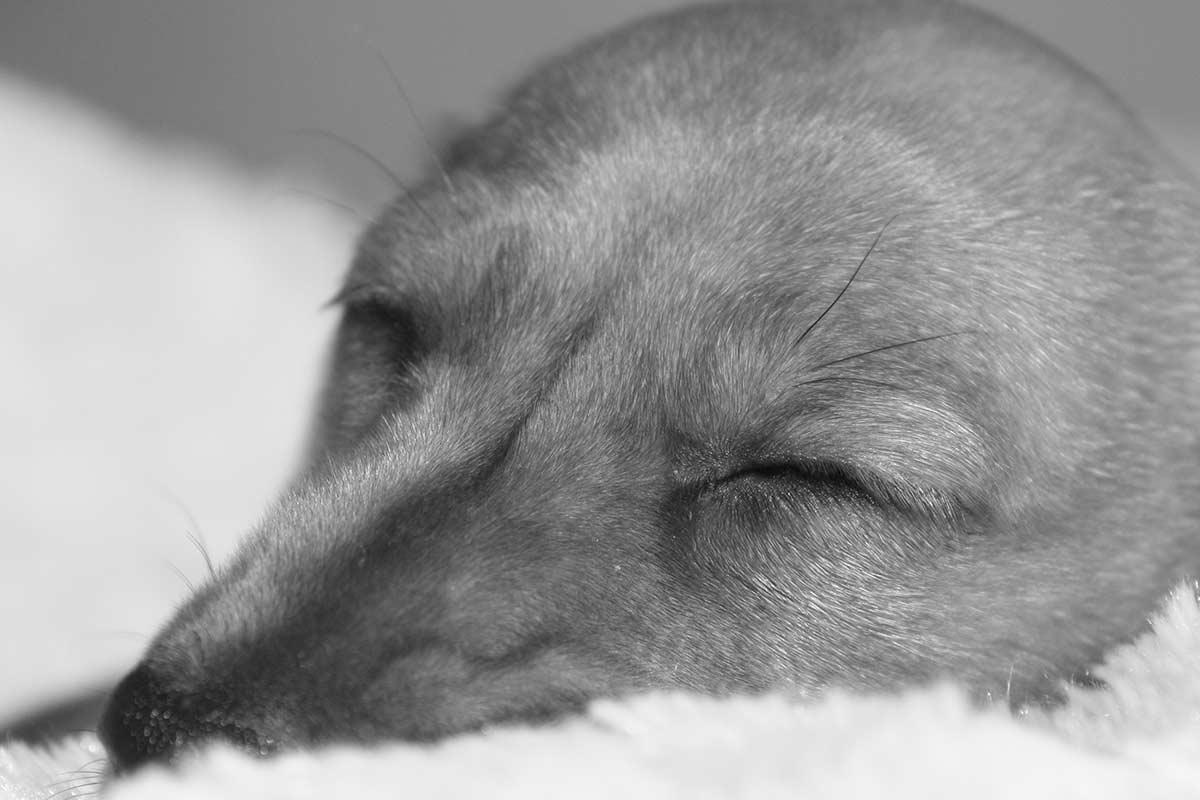 Quanto hanno bisogno di dormire i cani?