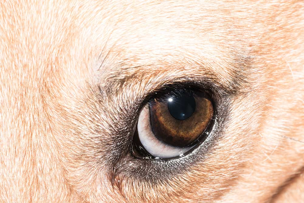 Problemi comuni agli occhi dei cani