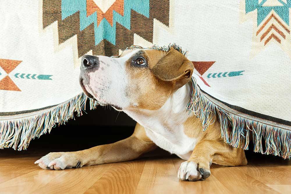 Come aiutare i cani che hanno paura dei botti e altri suoni forti