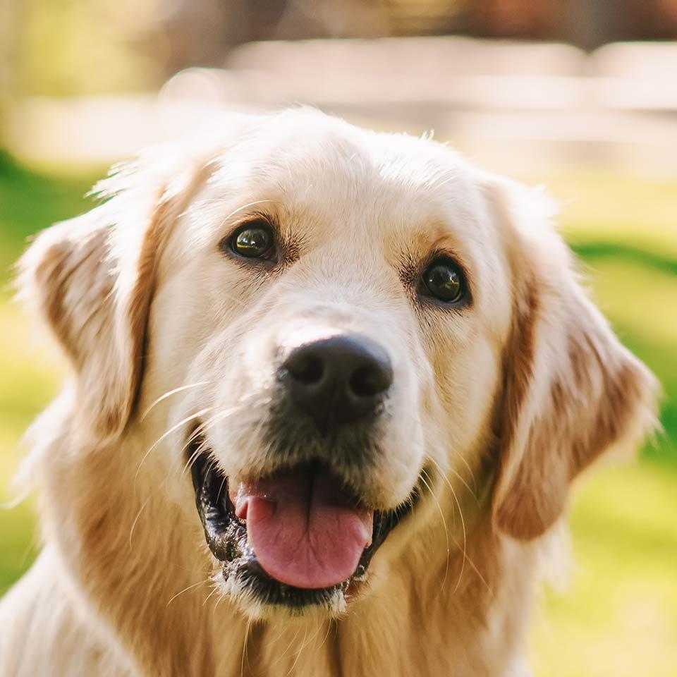 Come capire cosa ci dicono i cani nella loro lingua