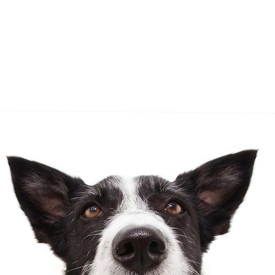 Come funziona la mente dei cani