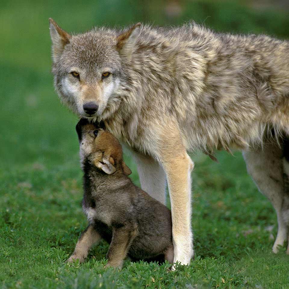 I cani e i lupi si differenziano nella propensione al rischio