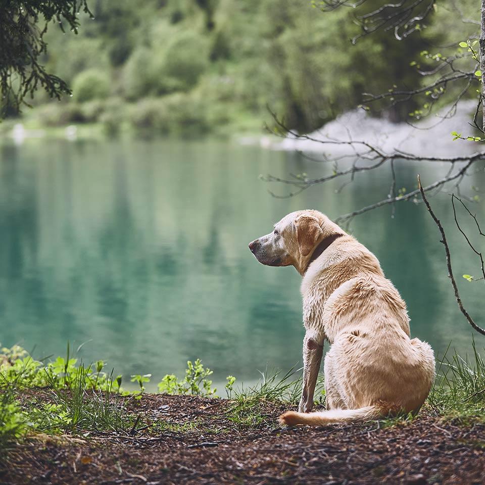 L'Alzheimer dei cani: la sindrome da disfunzione cognitiva