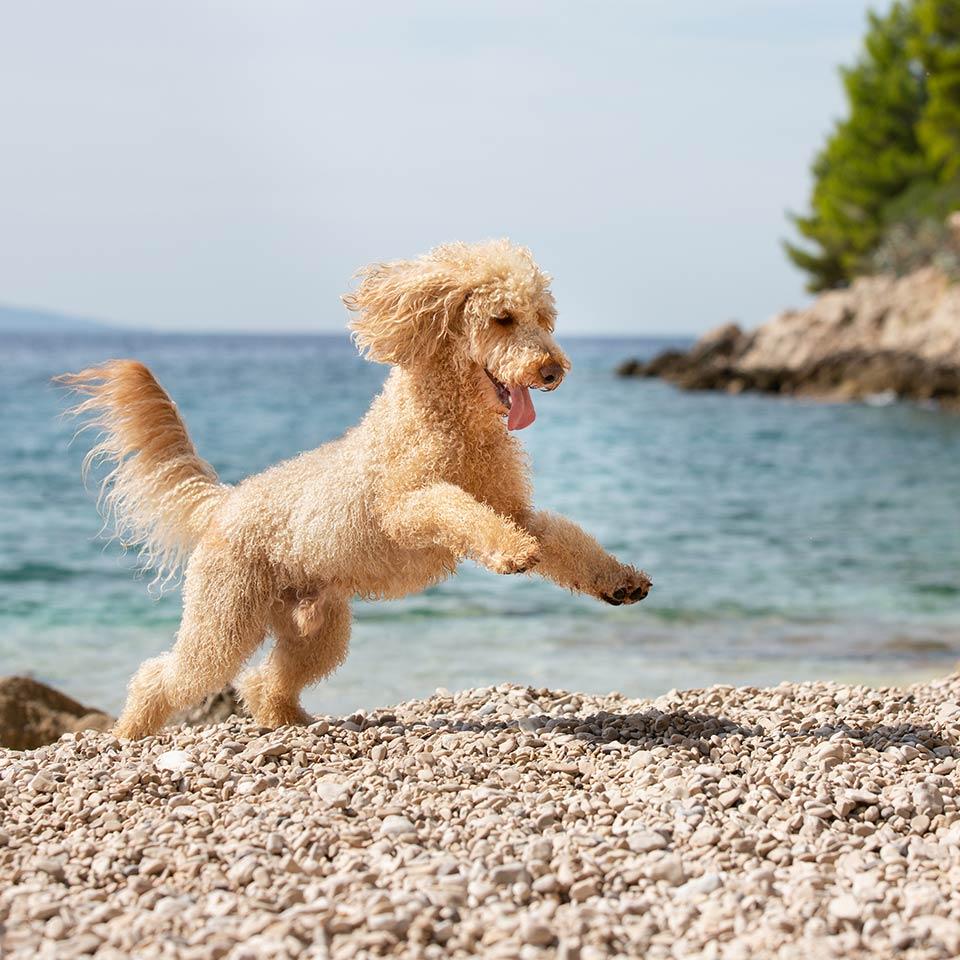 Riconoscere e gestire l'ipertiroidismo nei cani